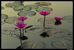 Thailand: Golden morning glory (Dan Wiklund) Tags: morning pink flowers flower nature water leaves thailand dawn golden leaf pond waterlily thai d200 2009 sukothai sukhothai waterlilys cotcbestof2009