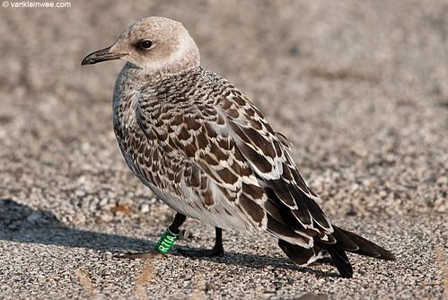 Mediterranean Gull, 1cy, G[R71A]