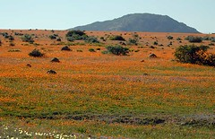 Namaqualand Wildflowers 1, August 2010