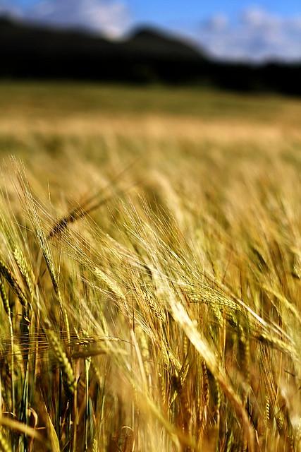 Corn rigs, an' barley rigs,  An' corn rigs are bonie