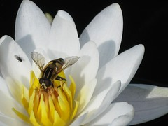 Hover-fly in a water lily flower (zxc6789) Tags: white plant flower water finland lily alba aquatic oulu ssp syrphidae diptera nymphaeaceae lumme lumpeet vesikasvi