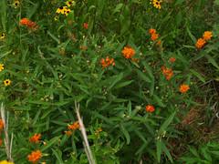 Asclepias tuberosa, Butterfly Weed (Mark Angelini) Tags: butterflyweed dinafalconi asclepiastuverosa