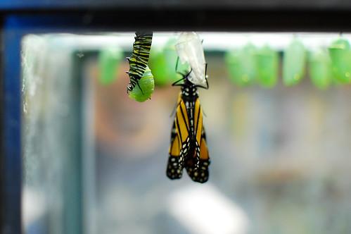 monarch-035