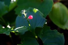マイヅルソウの赤い実