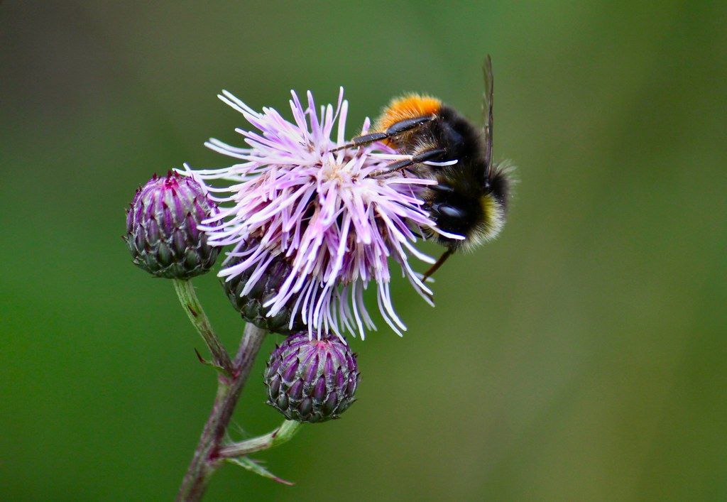 Red Tailed Bumble Bee (Bombus lapidaries)
