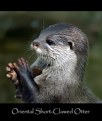 Oriental Short Clawed Otter (Steve Wilson - classic view please) Tags: china uk england india water animal indonesia asian thailand mammal zoo nikon asia cheshire britain burma wildlife small philippines great taiwan fresh vietnam chester mangrove swamp short malaysia otter wetlands prey endangered d200 aquatic oriental predator laos captive critical rare bangladesh captivity smallest carnivore upton clawed chesterzoo nikond200 aonyxcinerea critically caughall mygearandmepremium mygearandmebronze mygearandmesilver mygearandmegold mygearandmeplatinum mygearandmediamond mygearandmeplatinium highqualityanimals