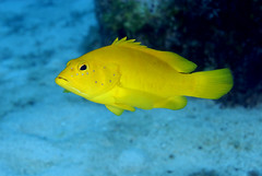 039_adj_DSC6940 coney (golden phase) (edpdiver) Tags: coral underwater scuba diving reef grandcayman eastend
