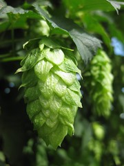 Chinook Hop Harvest 2010