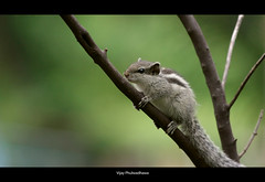 Determination.. (Vijay..) Tags: vijay green nature canon garden climb squirrel zoom bokeh telephoto steep determination xsi nagpur 70300 450d phulwadhawa