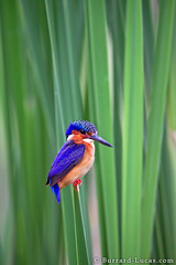 Madagascar Malachite Kingfisher (Burrard-Lucas Wildlife Photography) Tags: bird kingfisher madagascar malachitekingfisher malagasykingfisher viaflickrqcom