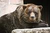 Grizzly Bear at Henry Vilas Zoo, Madison WI (mpnh08) Tags: bear animal zoo madisonwi animalplanet grizzlybear henryvilaszoo