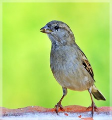 SPARROW IN THE LIMELIGHT ! (Rahul Rallan) Tags: naturesfinest