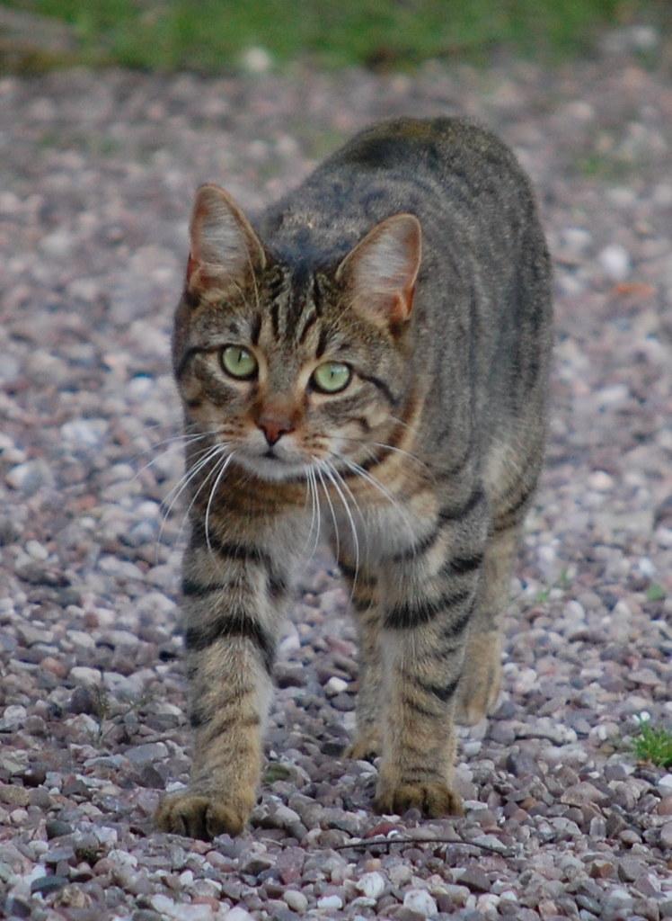 Epilepsia en gato