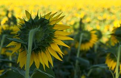 When you feel all alone and the world has turned its back on you... (rebelbutterfly) Tags: italy landscape nikon italia dof depthoffield mc sunflowers sunflower tamron 90 girasole marche paesaggio tolentino pdc macerata girasoli d90 profonditdicampo rebelbutterfly