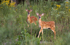 Fawns at Mammoth Cave (Chad W) Tags: park parque nationalpark wildlife deer mammothcave whitetail parquenacional