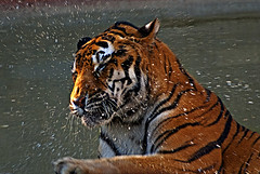 Splash! (Ganymede: Photography) Tags: madrid playing shower zoo aquarium drops interestingness interesting nikon bath play tiger curves relaxing explore million frontpage tigris tigre efp 6b pantheratigrisaltaica d60 panthera altaica nikond60 hdrish zooaquariummadrid havingashower