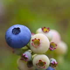 On Blueberry hill (raxman) Tags: blue macro nature closeup fruit canon garden dof bokeh blueberry canoneos5d bokehlicious sigma70mmf28exdgmacro updatecollection ucreleased