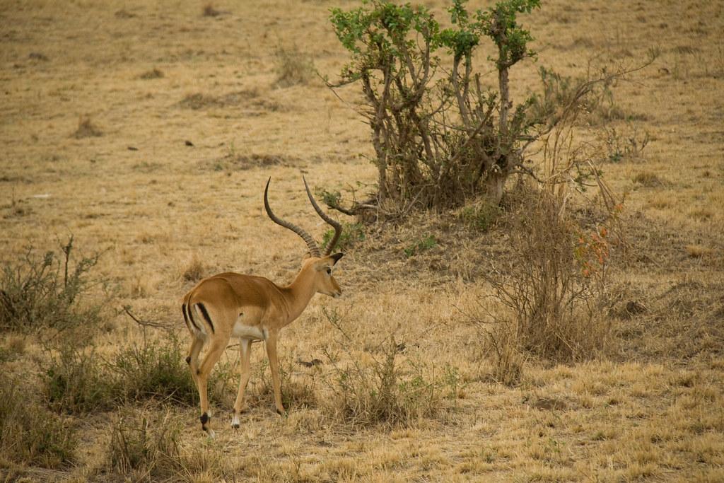 Male Impala - Maasai Mara, Kenya