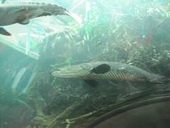 California Academy of Sciences - Amazon fish (arborwin) Tags: sanfrancisco ca vacation blackandwhite fish aquarium amazon roadtrip catfish chu californiaacademyofsciences arby arapaima miserylovescompany hivecalitripaugust2010
