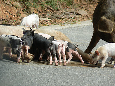 petits cochons.jpg