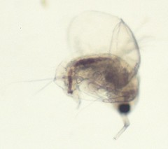 19    4494-990007-640 (h35312) Tags: sp 19  moina   cladocera  moinidae   4494990007640