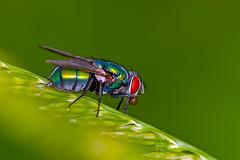 Green bottle Fly (Brian E Kushner) Tags: macro bug insect fly newjersey nikon brian nj greenbottle housefly muscadomestica audubon kushner 105mm flie nikon105mmf28gedifafsvr d3x platinumphoto macrolife nikond3x bkushner ©brianekushner