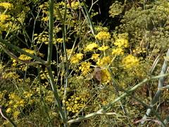 082110 Carrillo Adobe Santa Rosa 094 (Sonomabuzz) Tags: california ruins sonomacounty santarosa carrillo carrilloadobe adobestructures
