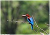 Wings of Blue!! (Naseer Ommer) Tags: birds aves westernghats birdsofkerala naseerommer canon300mm canoneos7d discoverplanetinternational whitebreateskingfisher