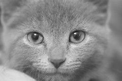 My Little Isabella (jeepinpixie) Tags: blackandwhite face mouth fur nose grey eyes kitten feline young ears whiskers