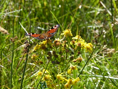 Butterfly (SamMeyrick27) Tags: wild plants plant flower nature animal forest butterfly scotland fly highlands woods europe ben wildlife bennevis land pollen hover nevis nector yahoo:yourpictures=amazinginsects