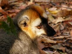 Lémur marrón de frente roja (Eulemur rufus)