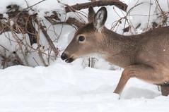 trying to find a path to follow (nosha) Tags: new winter beautiful beauty photography newjersey nj deer jersey lightroom 2011 nosha 28300mmf3556 nikond300 penningtonnewjerseyusa