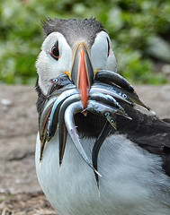 2017.07.05 - Farne Island Puffin With Sand Eels (D.R.Williams) Tags: puffin bird farne islands northumbria national trust eel sand feathers eyes fish bill beak colours