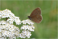Ringlet (jenny*jones) Tags: aphantopushyperantus ringlet butterfly nymphalidae brushfootedbutterfly lepidoptera westyorkshire gtbritain july2017 meadows canon canon100mm28 naturephotography