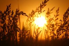 Grass and sunset (dylan583) Tags: saskatchewan sonydslra700 sonyalpha sonya700 tamronsp45670300usd tamron telelphotolens telephoto sunset backlit silhouette slough plant grass