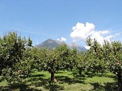 DSCN5138 (keepps) Tags: switzerland suisse schweiz valais martigny apricot fruit fruittree