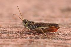 Knopsprietje - Myrmeleotettix maculatus (henk.wallays) Tags: aaaa arthropoda acrididae balim belgium europa henkwallays insect knopsprietje location limburg lommel myrmeleotettix myrmeleotettixmaculatus nature orthoptera orthoptères veldsprinkhanen closeup cricket grasshopper insecta insecte insekt macro natuur sauterelle schrecke sprinkhaan sprinkhanen veldsprinkhaan wildlife