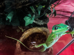 you've got to get me out right now! (pbo31) Tags: bayarea eastaby alamedacounty california color july summer 2017 pleasanton pbo31 boury alamedacountyfair fair cage display animal pet judge lizard green aquarium glass red macro little black iphone7 depthoffield escape free out geko crawl climb