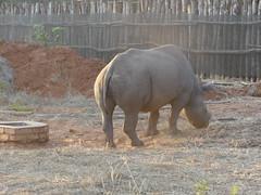 P1140595 Zimbabwe (47) (archaeologist_d) Tags: zimbabwe zambezinationalpark wildlife blackrhinoceros rhinoceros africa southernafrica safari