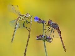 pareja de libélulas (Santi BF) Tags: sympetrumfonscolombii sympetrum bicho bug libélula libèl·lula dragonfly odonato odonata odonate anisóptero anisoptera aproximación macro