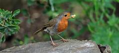 Robin J78A0592 (M0JRA) Tags: robins birds parks gardens rspb lakes ponds fields trees nature snakes adda