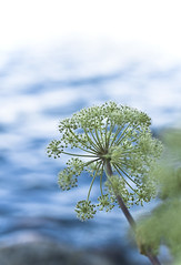 freshness @ helsinki (Hannu Johannes) Tags: blue sea summer copyright flower green water up vertical suomi finland 50mm helsinki nikon close bokeh 14  fresh johannes freshness hannu kallahti kallahdenniemi kallvik