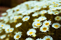 Day 140 - Lay Me Down on a Bed of Daisies (Keenen Brown) Tags: flowers canada nature daisies nikon dof bokeh britishcolumbia depthoffield whiterock nikkor50mmf18 nikkor whiterockbc project365 d700 nikond700