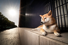 Basking - 25/52 (kaoni701) Tags: sanfrancisco portrait dog sun japan project japanese nikon tokina flare suki shibainu shiba 52 missionbay shibaken 柴犬 sb800 week25 1116 strobist sb900 1116mm d300s 52weeksfordogs