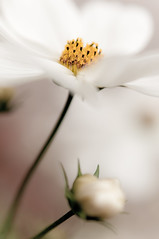 Beauty (alexbartok) Tags: macro closeup 50mm whiteflower bud blume asteraceae aster 50mmf14 knospe flowerbud korbbltler achromat geocity exif:focal_length=50mm exif:iso_speed=200 d300s camera:make=nikoncorporation exif:make=nikoncorporation geostate geocountrys exif:lens=500mmf14 camera:model=nikond300s exif:model=nikond300s exif:aperture=25 geo:lon=10093216 geo:lat=48836159