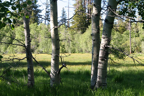Aspens and Meadow