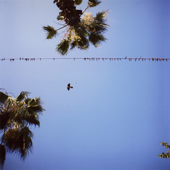syrian birds (scott w. h. young) Tags: blue sky tree bird 120 film up mediumformat wire kodak flight palm diana syria dianaf aleppo 38mm 400vc inbetweenfeeling