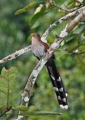 2709* Squirrel Cuckoo (leehunterphotos) Tags: nature birds la ecuador rainforest wildlife selva aves lodge