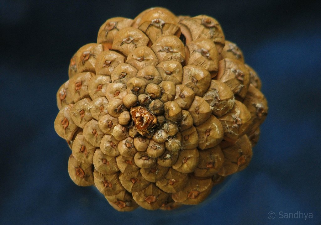 how to draw a pine cone spiral
