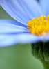 glory (nosha) Tags: flowers blue flower green nature beautiful beauty june yellow gardens garden nikon bokeh petal dupont longwoodgardens 2009 longwood lightroom d300 nosha natureycrap nikond300 1500secatf33